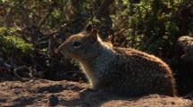 California Ground Squirrel, Otospermophilus Beecheyi Near Brush, Zoom In