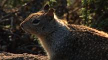 California Ground Squirrel, Otospermophilus Beecheyi Near Brush, Extreme Close Up