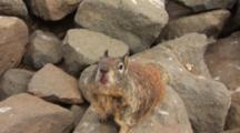 Pov Of California Ground Squirrel, Otospermophilus Beecheyi Takes Food From The Hand Of A Person