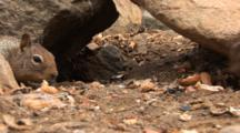 California Ground Squirrel, Otospermophilus Beecheyi Forages For Food Among Rocks