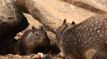 California Ground Squirrels, Otospermophilus Beecheyi Forage For Food Among Rocks