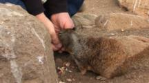 California Ground Squirrels, Otospermophilus Beecheyi Takes Food From Hands Of A Person