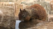 California Ground Squirrels, Otospermophilus Beecheyi Drinks From Water In Rocky Depression