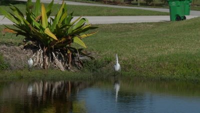 A great Egret (Ardea alba) Hunting,catching and eating a fish