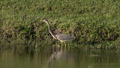a tricolored heron (Egretta tricolor) forages along a pond shoreline