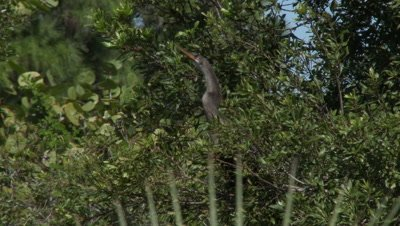An Annihinga (Anhinga anhinga) onm shore and in a tree