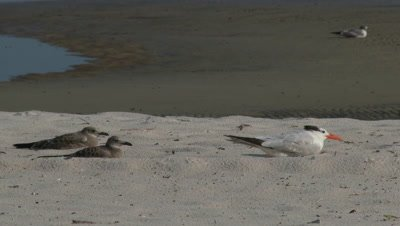 Shore Birds - Terns,Gulls,and Black Skimmers near the Mississippi Delta