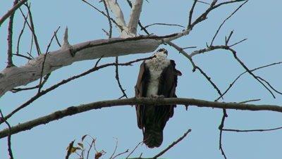 An Osprey (Pandion haliaetus) in a tree
