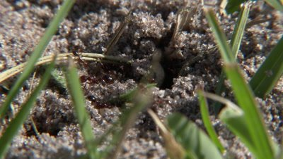 Fire Ants - Close up