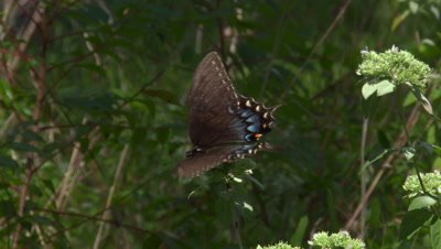 Mississippi State Butterfly,Spicebush Swallowtail (Pterourus troilus) on food plant