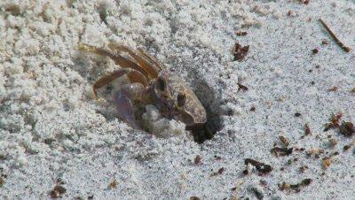 Atlantic ghost crab,Ocypode quadrata,in sandy burrow