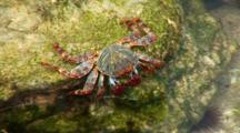 Sally Lightfoot Crab (Grapsus Grapsus) On Rocks In Tidepool