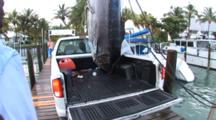 Fishing - Blue Marlin Hanging Above The Bed Of A Pickup Truck