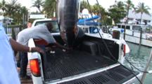 Fishing - Blue Marlin Hanging Above The Bed Of A Pickup Truck Then Lowering Into Truck