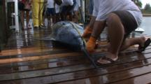 Fishing - Marlin On A Dock Being Measured For Length