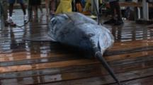 Fishing - Marlin On A Dock, Dead, Close Up