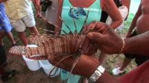 Lion Fish Being Held Up For Examination By An Individual With Dorsal Spines Extended, Hand Held & High Angle