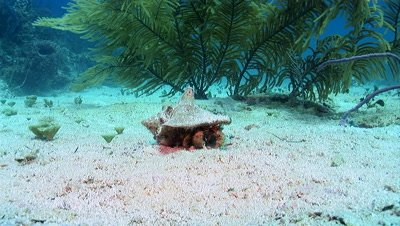 Hermit Crab Occupies a Conch Shell