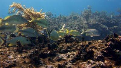 Coral Reef Scenics - Fish Schools,Grunts,Sponges,Habitat