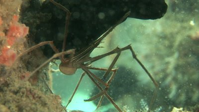 A Yellowline Arrow Crab (Stenorhynchus seticornis) on a shipwreck in Florida