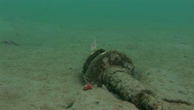 A juvenile Lane Snapper (Lutjanus synagris) over a piece of marine debris