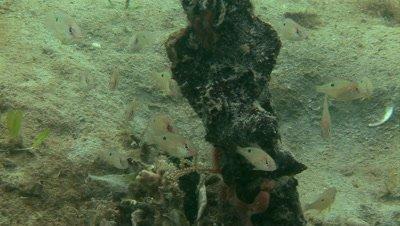 juvenile Lane Snapper Group (Lutjanus synagris) over a piece of marine debris