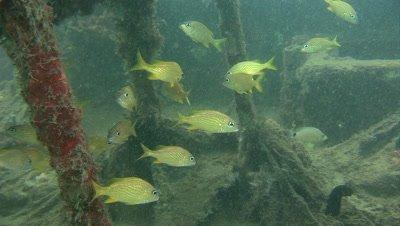 A school of Juvenile grunts over a piece of marine debris