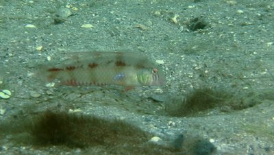 A Green Razorfish (Xyrichtys splendens) forages over the sand