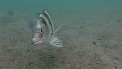 A Sheepshead (Archosargus probatocephalus) swimming over a sandy bottom