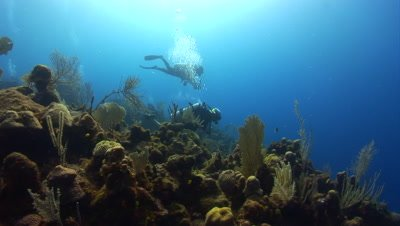Scuba Divers descend onto coral reefs with Giant Grouper