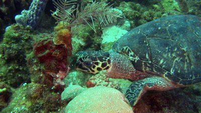 Green Sea Turtles (Chelonia mydas) forage on coral & sponges,Scuba Diver in frame