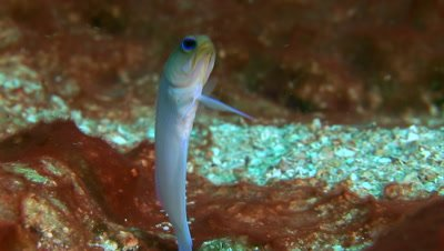 Yellow head Jawfish (Opistognathus aurifrons) colonizing the ocean floor on a coral reef