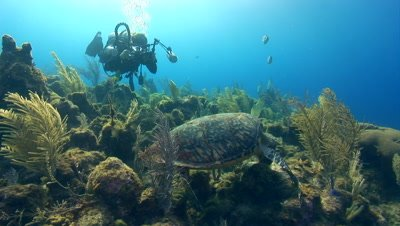 Green Sea Turtles (Chelonia mydas) forage on coral & sponges
