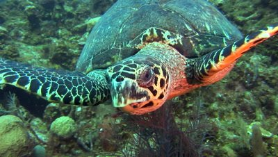 Green Sea Turtles (Chelonia mydas) forage on coral & sponges