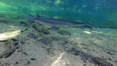 Alligator Gar (Atractosteus spatula) in Blue Springs, Florida