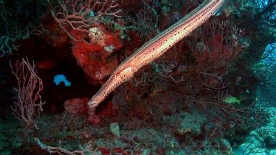an Atlantic trumpetfish, Aulostomus strigosus, on a florida feef