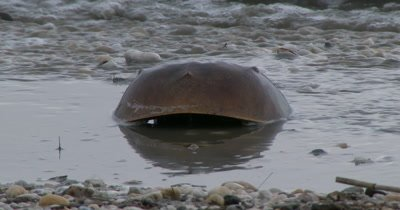 Horseshoe Crabs (Limulus polyphemus) and shore birds on Delaware beach during spawning