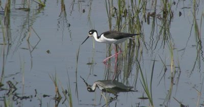 Black-necked Stilt (Himantopus mexicanus) walking through marsh grass in Delaware