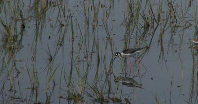 Black-necked Stilt (Himantopus mexicanus) walking through marsh grass in Delaware