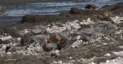 Red Knots (Calidris canutus) in breeding plumage and other shore birds forage among the pebbles and horseshoe crabs on a Delaware beach
