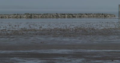 Red Knots (Calidris canutus) in breeding plumage and other shore birds forage on the mud flats among horseshoe crabs on a Delaware beach