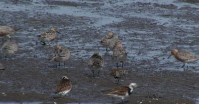 Red Knots (Calidris canutus) in breeding plumage and other shore birds forage on mud flats among the horseshoe crabs on a Delaware beach