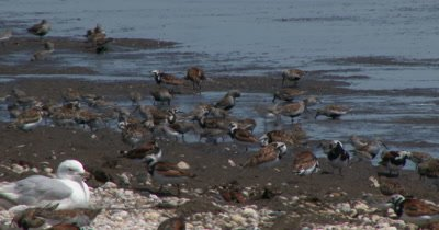 Ruddy Turnstones (Arenaria interpres) and other shore birds forage among the pebbles and horseshoe crabs on a Delaware beach