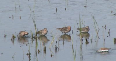 short-billed dowitchers (Limnodromus griseus) forage in a salt marsh on Delaware Bay