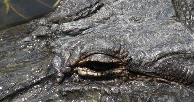 American Alligator Mississippiensis in Bayou Mississippi