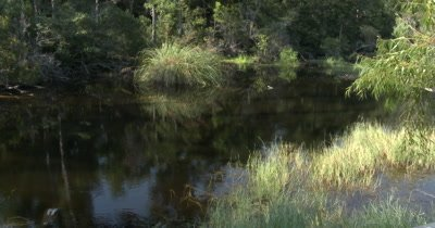 American Alligator (Alligator mississippiensis) in a bayou in Mississippi