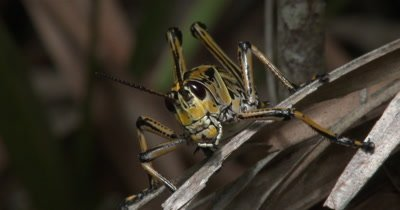 eastern lubber grasshopper on summer vegitation