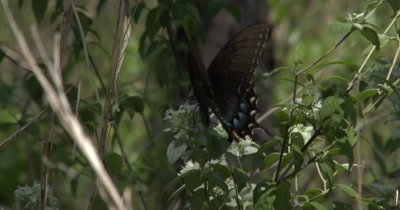Close up shot of Spice brush Swallowtail Butterfly on food plants
