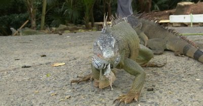 Green Iguanas (Iguana iguana) at an Iguana farm