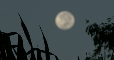 Focus Pull on a  full Moon Seen Through Tropical Trees